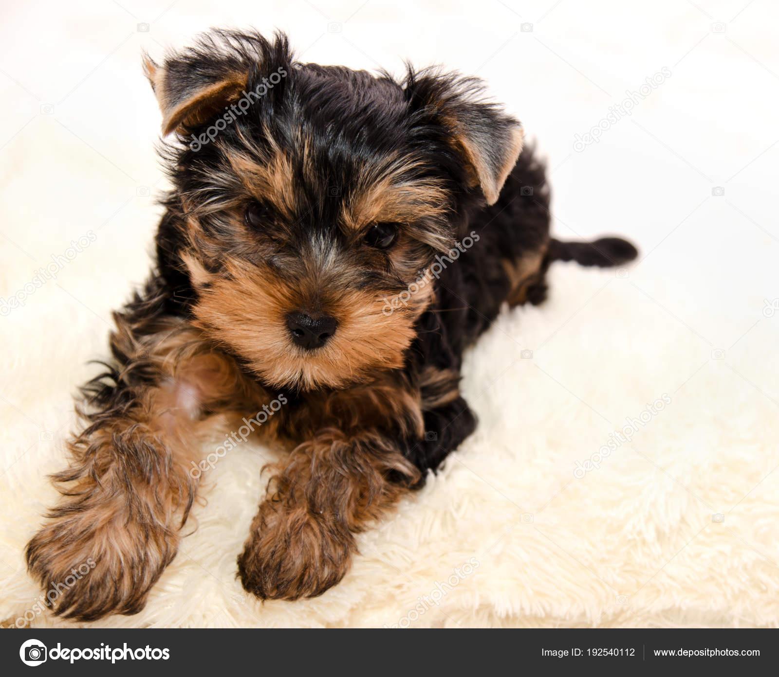 Gyonyoru Kolyok Yorkshire Terrier Stock Foto C Svetamart 192540112