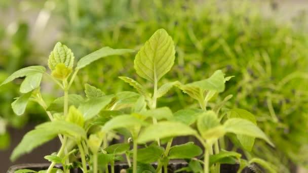 Střílení hrášku výhonky zelených rostlin rostoucí pomalu rostoucí úponky. Microgreens.