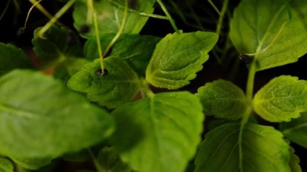 Borsóhajtások zöld növények nőnek lassan növekvő indák. Mikrozöldek. Lassú mozgás..