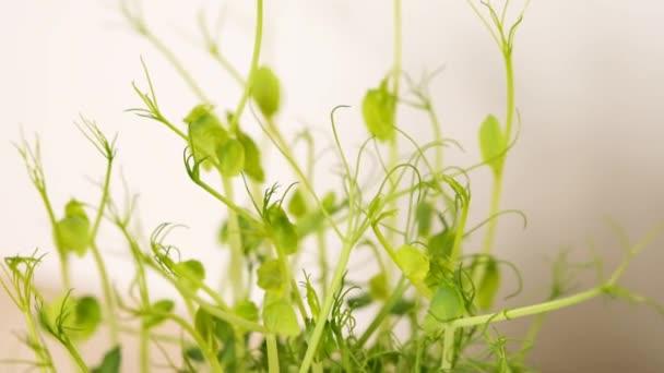 Borsóhajtások zöld növények nőnek lassan növekvő indák. Mikrozöldborsó. 4k. Lassú mozgás..