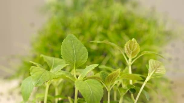 Borsóhajtások zöld növények nőnek lassan növekvő indák. Mikrozöldség.