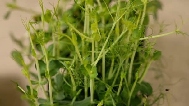 Erschießung von Erbsentrieben grüner Pflanzen, die langsam wachsende Ranken bilden. Mikrogrüne Erbsen. 4k. Zeitlupe.