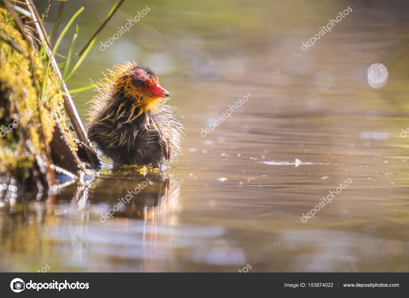 Fotky černé kuřátko