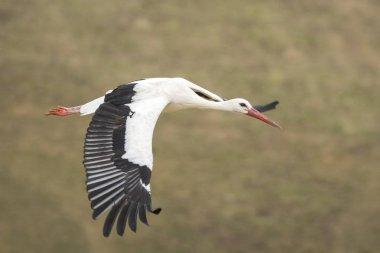 White stork (Ciconia ciconia) in flight.