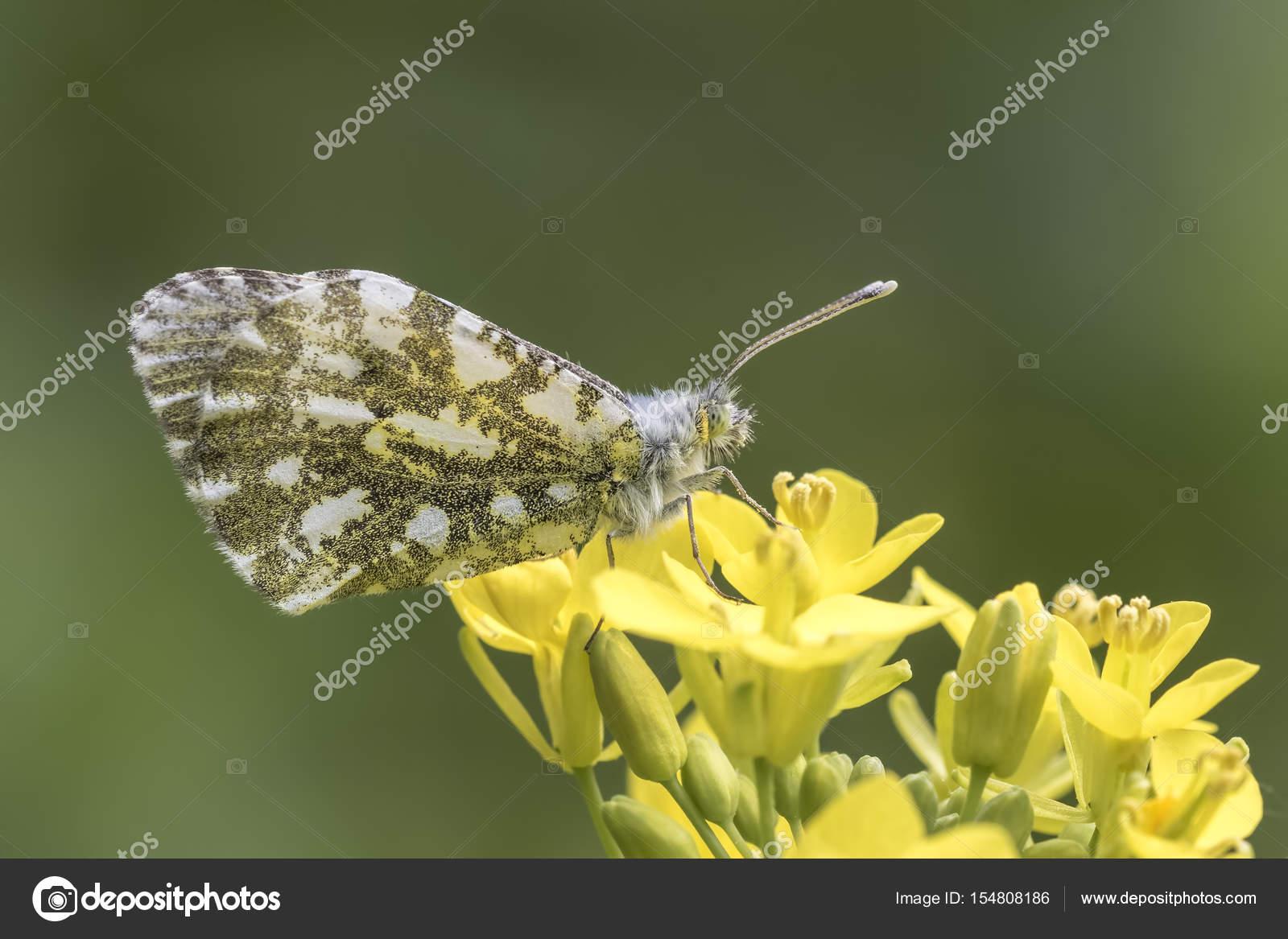Weibliche Orange Spitze Schmetterling Anthocharis cardamines ...
