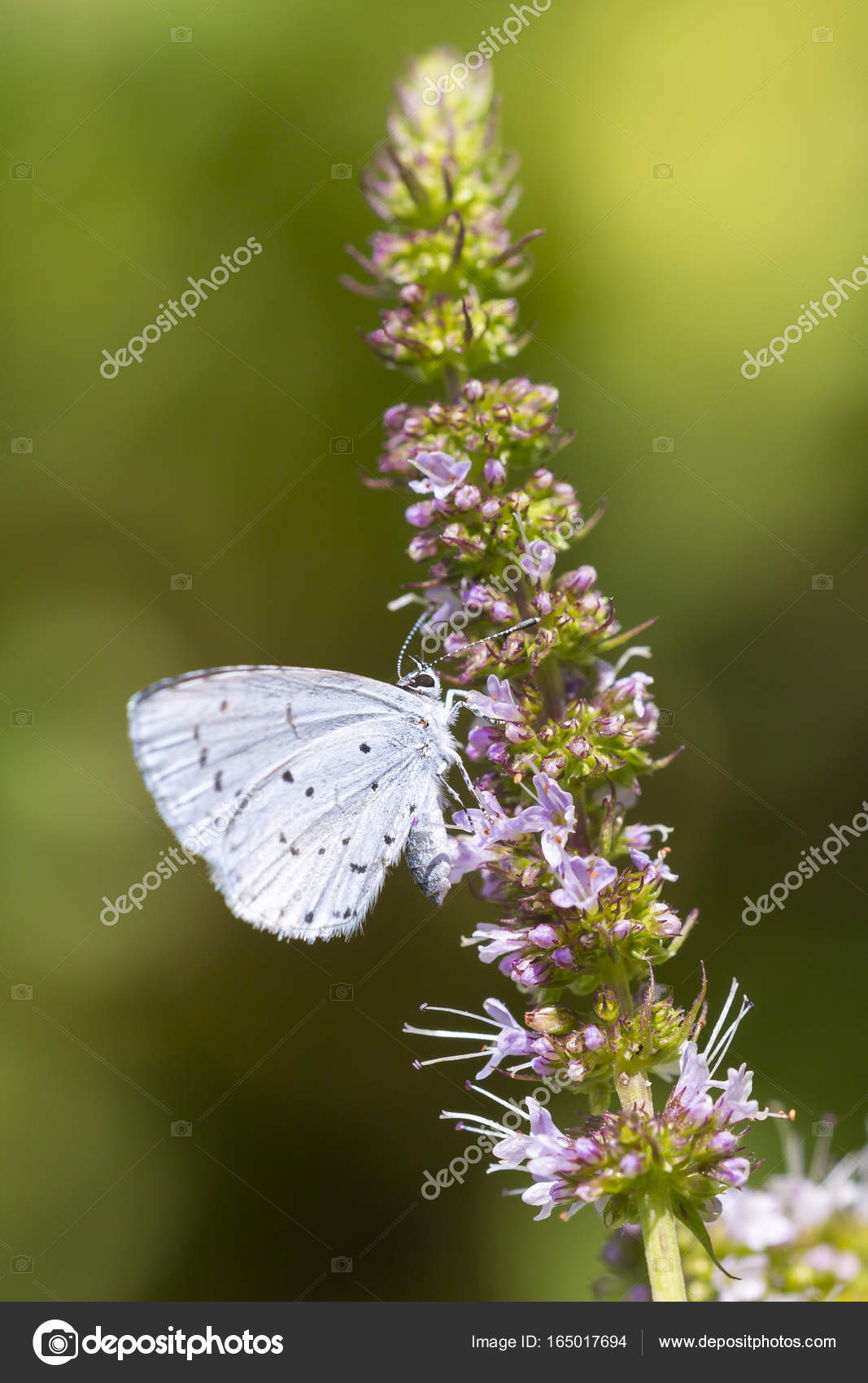 Holly Blue Celastrina Argiolus Schmetterling Futterung Stockfoto