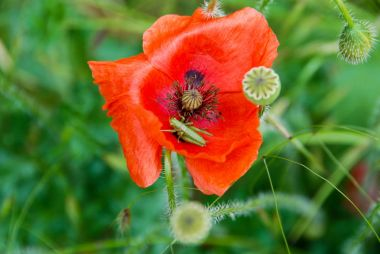 A red poppy with a cricket