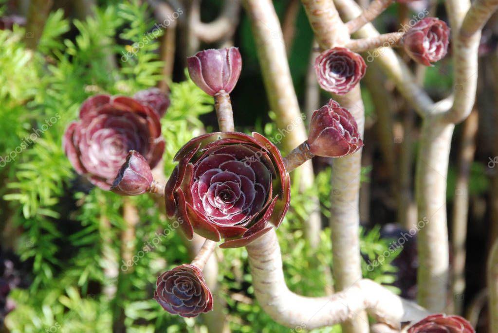 Plants of aeonium arboreum