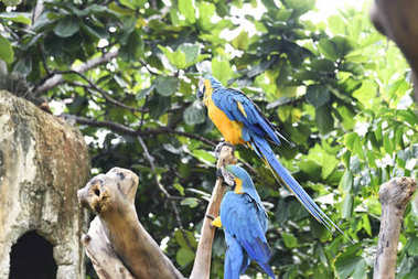 Beautiful Blue-and-yellow macaws