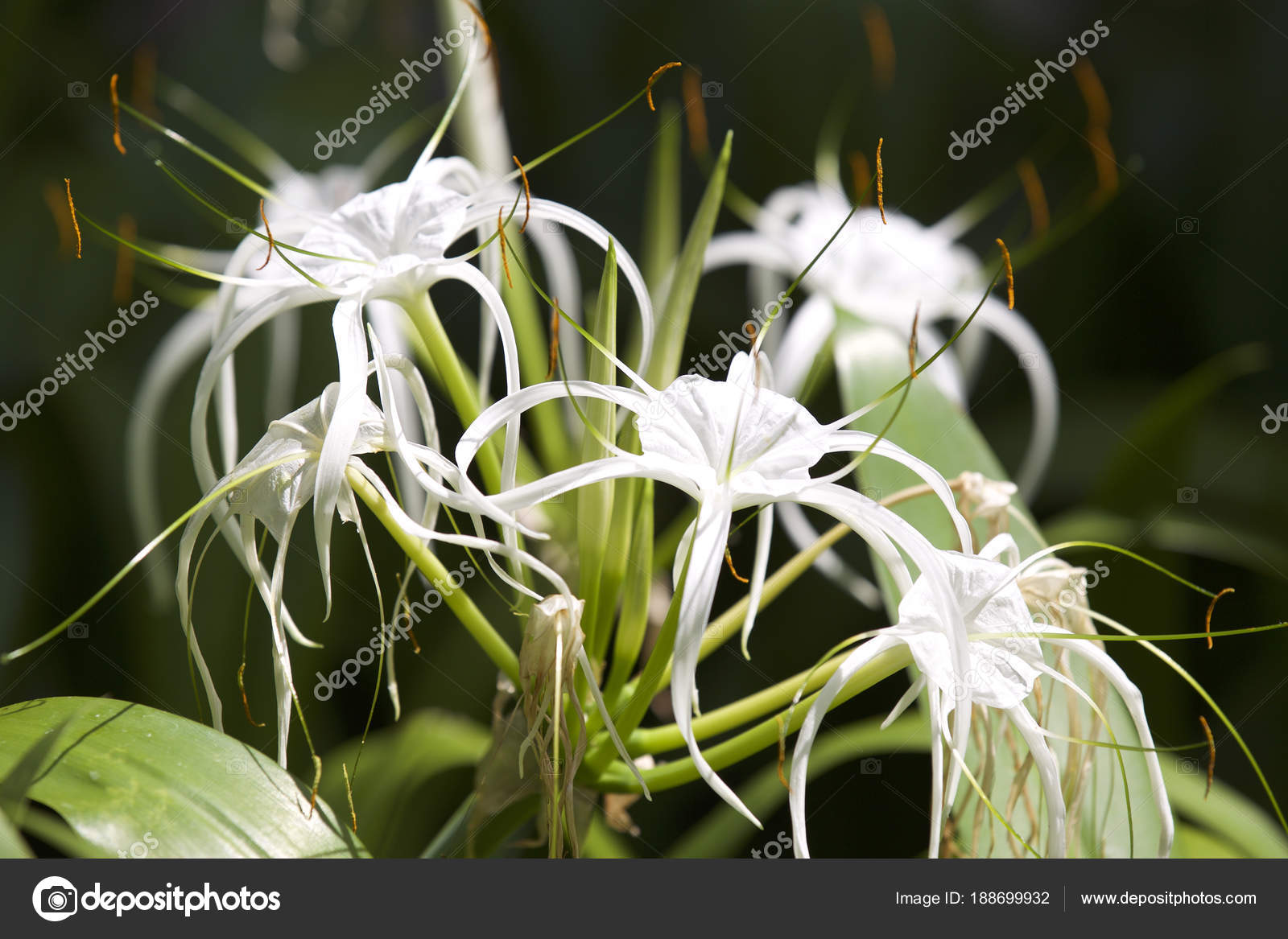 White Tropical Cultivated Flowers With Long Petals Stock Photo