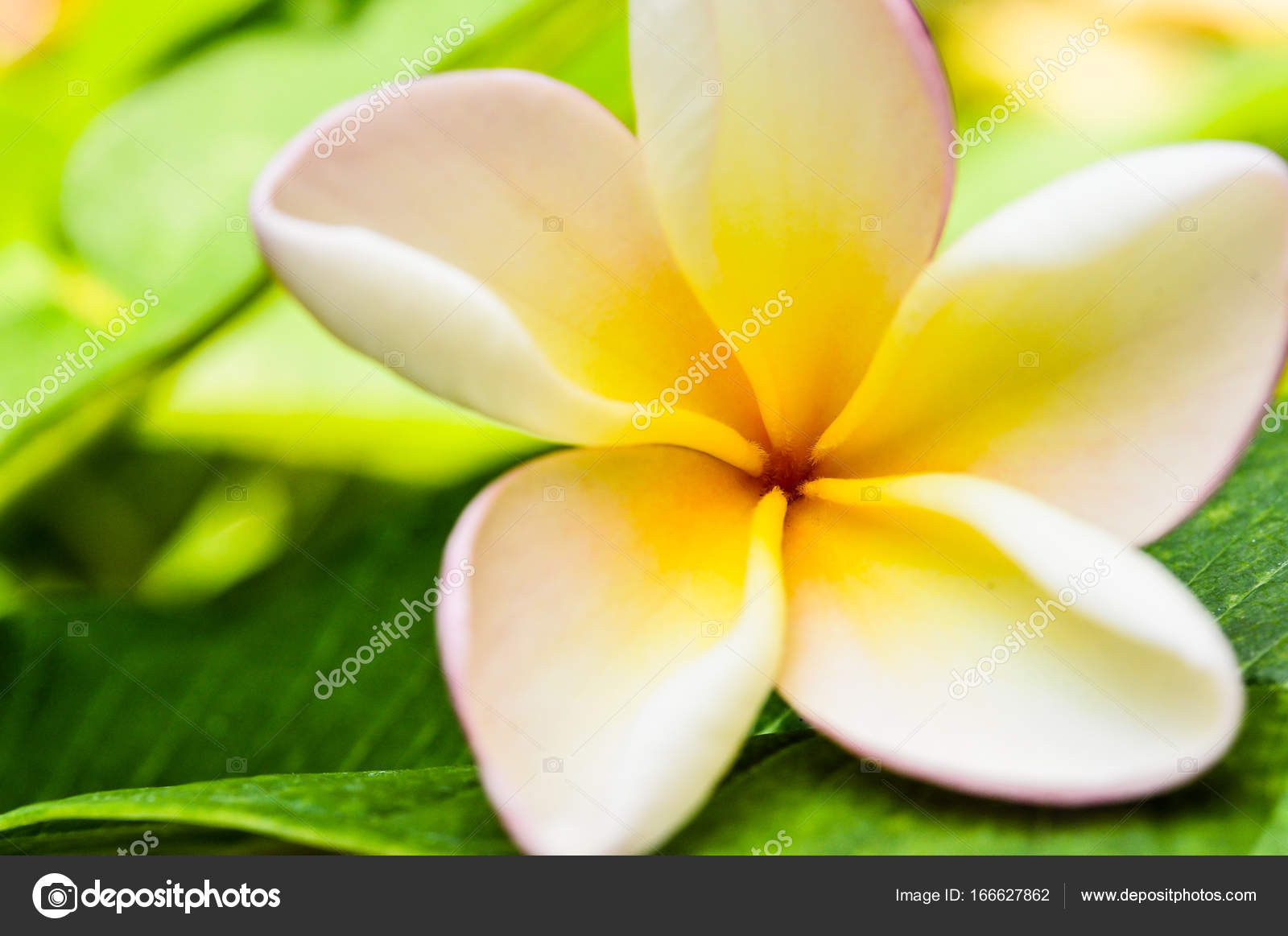 Pumeria Bokeh Background Flower White Pink Yellow Color Stock