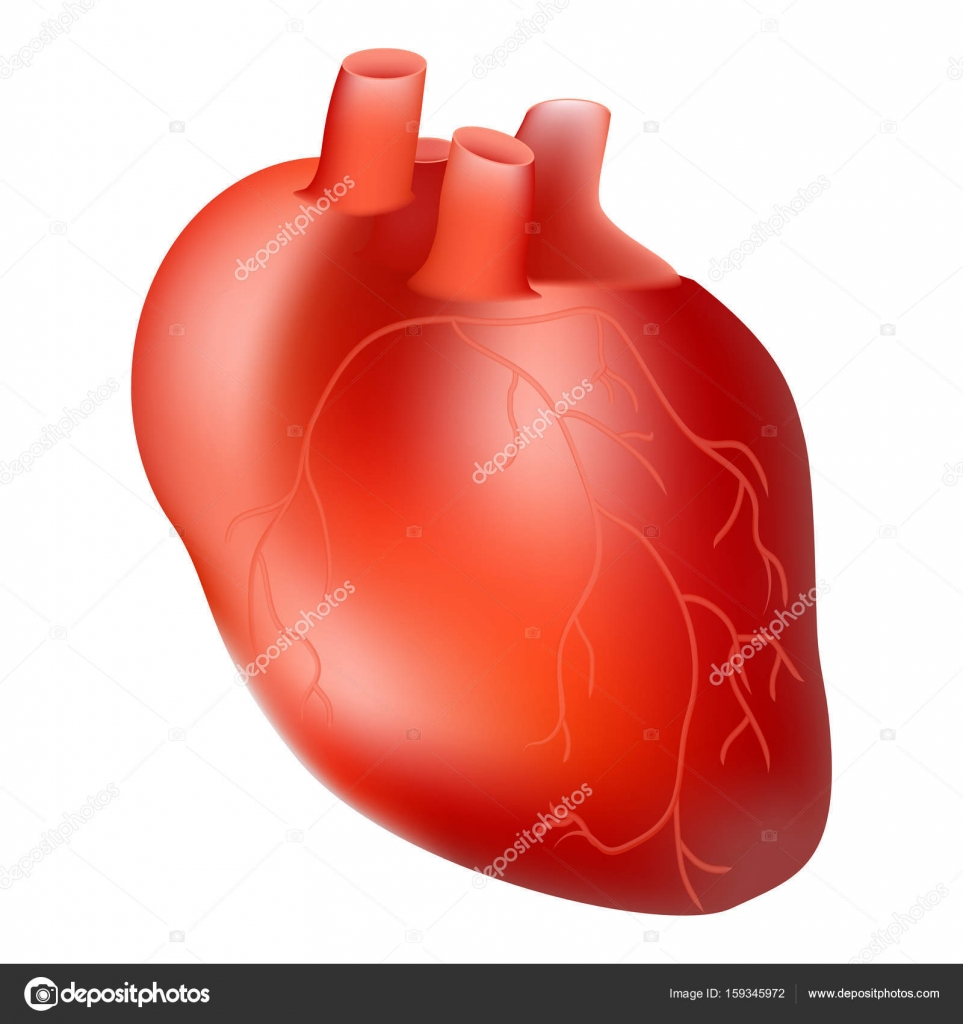 Human Heart Internal Organ Anatomy Concept Isolated On A White