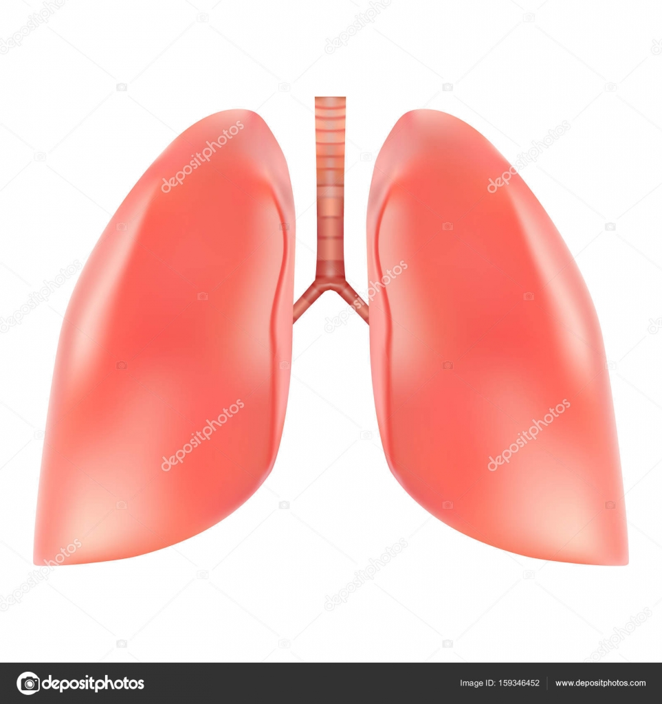 Human Lungs And Trachea Anatomy Isolated On A White Background
