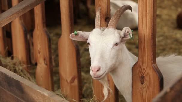 Koza na farmě při pohledu do kamery, čisté kozu na farmě, koza detail, farma interiér