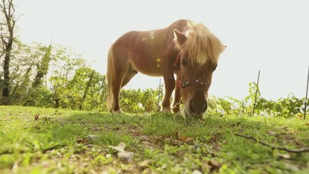 barna kis ló horzsolások egy réten, a kis ló eszik fű, közelkép, barna póni