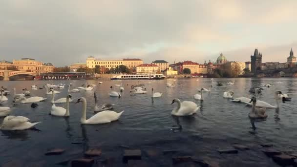 Swans on the Vltava River, Swans in Prague, panoramic view, wide angle, view of the old town and Charles Bridge across the Vltava River in Prague