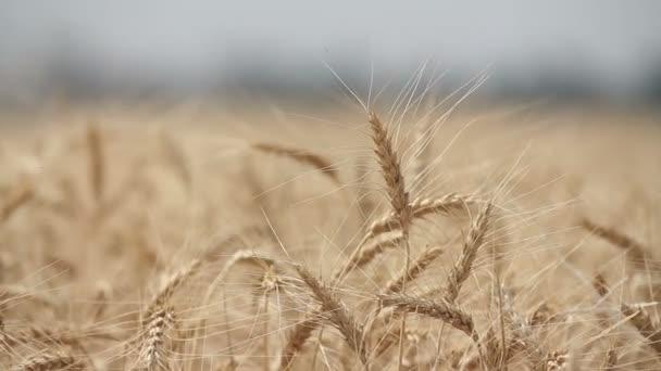Búza sárga füle sway a szélben, az érett fülek, a búza, betakarítás, a mező a búzatermesztés háttér területén
