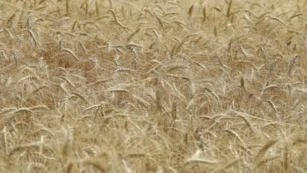 Yellow ears wheat sway in the wind, the background field of ripe ears of wheat, Harvest, Wheat growing on field, video, Close-up, side view
