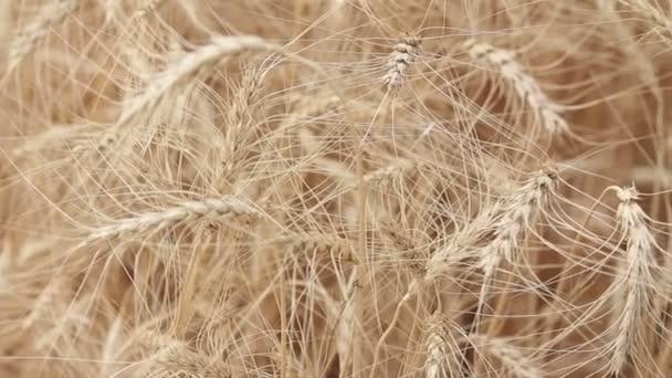 Sárga füle búza sway a szélben, érett fülek, a búza, betakarítás, a búza növekvő területen, videó, közelkép, oldalnézetből háttér területén
