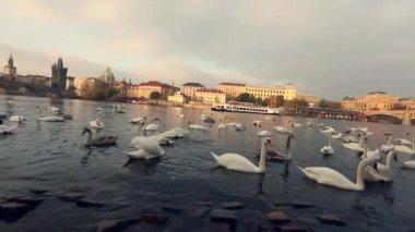 Labutě na Vltavě, labutě v Praze, panoramatický pohled, široký úhel, pohled na staré město a Karlův most přes řeku Vltavu v Praze