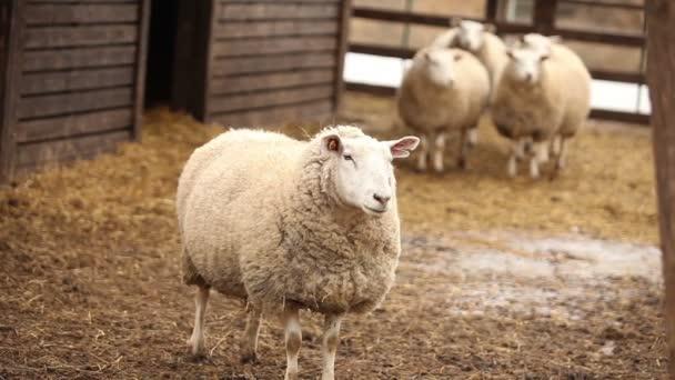 Schafe gucken in die Kamera, Nahaufnahme, Schafe auf dem Hof