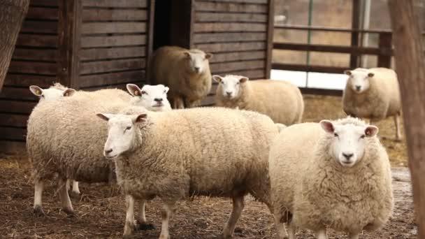 schaut das Schaf auf dem Hof in die Kamera, aus nächster Nähe aufgenommen. Schafe haben ein vorzeigbares, sauberes Aussehen. Rahmen sind schön für Ihre Reportagefilme oder Videos über Tiere und Bauernhof