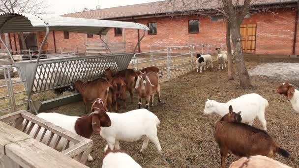 Ziege schaut in die Kamera aus nächster Nähe, schöne Ziege auf dem Hof, Hof außen