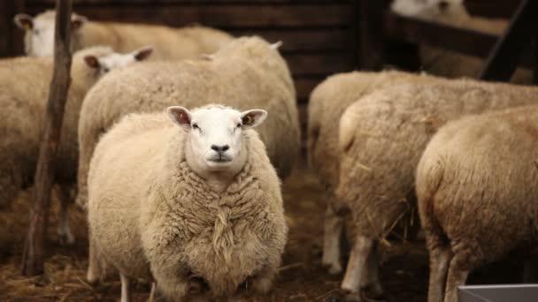 Ovce na farmě se dívá na kameru. Ovce má slušně, čistý vzhled. Rámy jsou krásné pro reportážní videa nebo o zvířata a hospodářství
