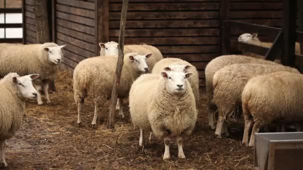 Ovce se dívá na kameru, vnější farmy, detail, ovcí na farmě