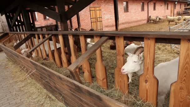 Ziege schaut in die Kamera aus nächster Nähe, Hof außen, schöne Ziege auf dem Hof
