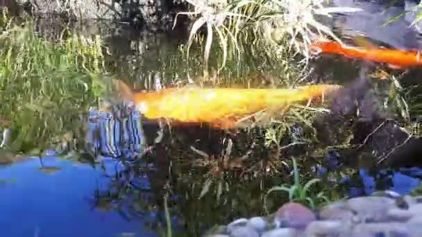 Japonský Kapr ve vodě, japonský Koi kapr plave v dekorativní rybník. Ozdobný kapr Koi ryby jsou červená, oranžová, bílá. Světlých druhů ryb plave v rybníku