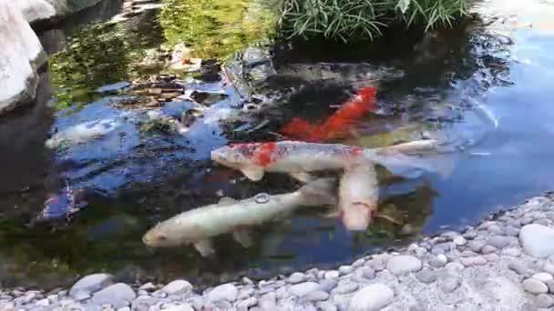 Carpa Japonesa En El Estanque Los Peces Mas Grandes En La Charca - Estanques-peces