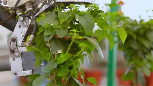Automatikus levélmetszés, Automatikus növénynyírás értékesítés előtt, szállítószalag üvegházban, automatizált vonal egy modern üvegházban