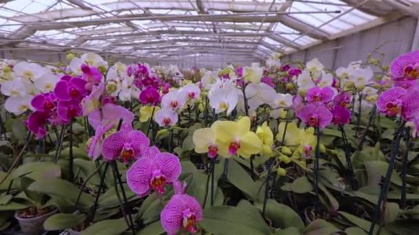 Rozkvetlé panorama orchideje. Panorama kvetoucí orchideje. Orchidej květina zblízka, krásná orchidej zblízka