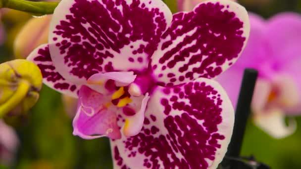 Detailní záběr rozkvetlé orchideje. Kvetoucí orchidej zblízka. Orchidej květina zblízka, krásná orchidej zblízka