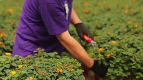 Nő metszés olló, nő metszés növények olló, nő metszés növények egy üvegházban
