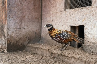 Beautiful male Reevess pheasant with yellow feathers and white head on the bird breeding farm.