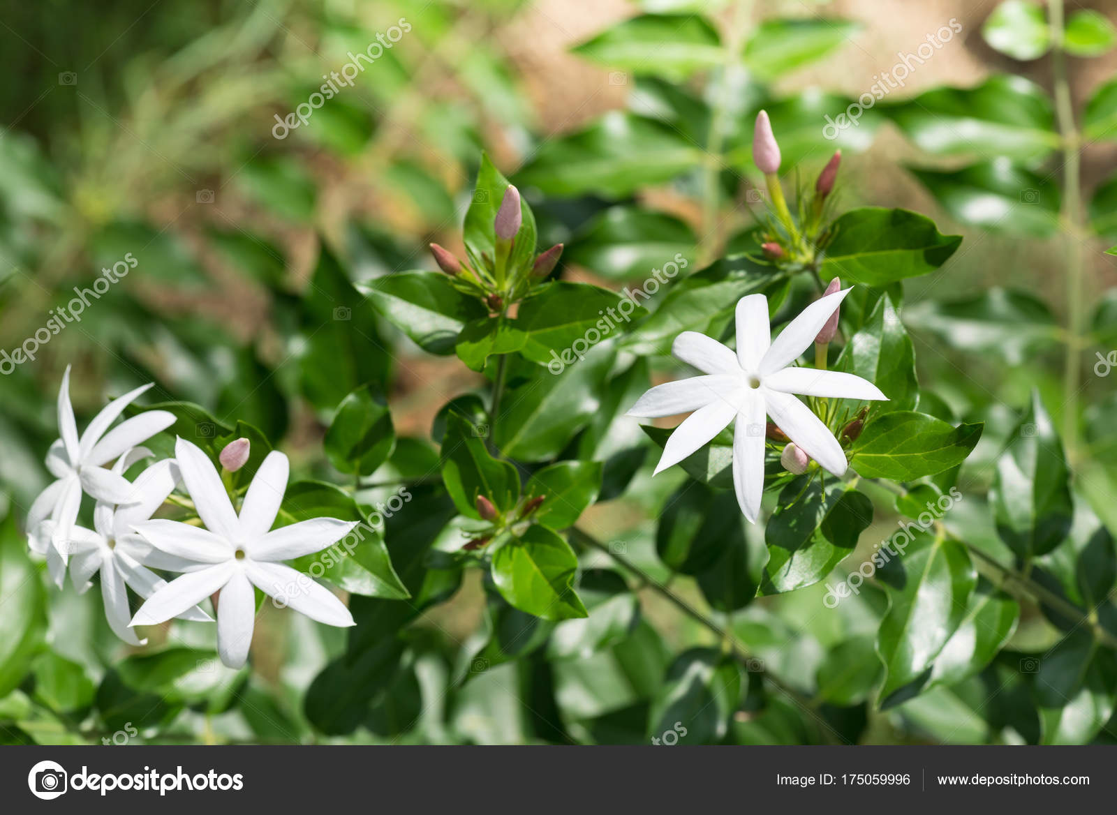 Jasmine Flowers Garden Stock Photo Calvste 175059996