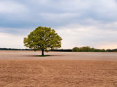 Solitary big oak tree in the middle of field