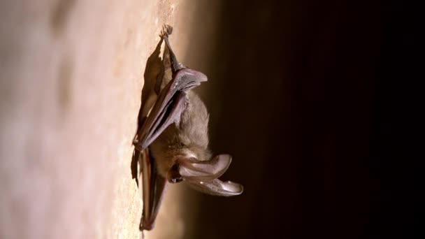 Big eared bat on rock wall in a cave