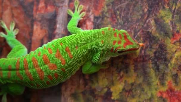 Obří den gecko jíst červa, zatímco visí na zdi