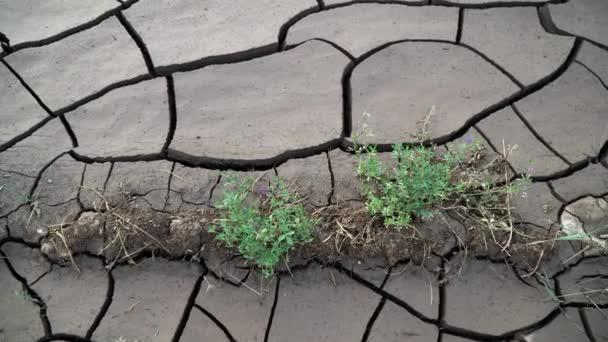 Pflanzen wachsen mit Rissen aus trockenem Schlamm
