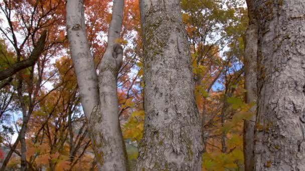 Panning view through trees in forest during Fall
