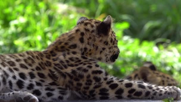 Amur Leopard cub lying down looking around as it hangs near her mother.