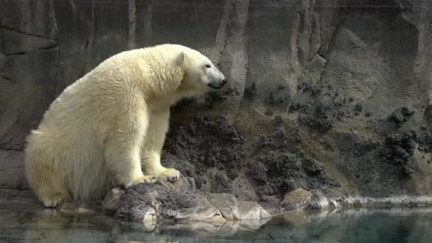 Jegesmedve ül a sziklák tövében a víz mellett, ahogy körülnéz..