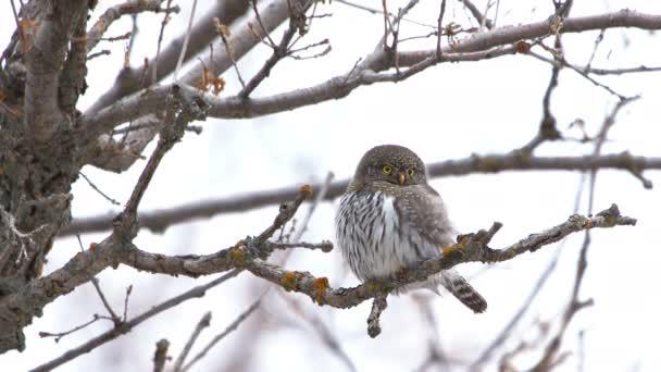 Severní Pygmy Owl sedí na větvi a zpomaleně se dívá, jak loví shora..