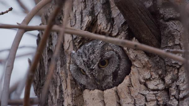 Screech Owl probouzí a dívá se z díry ve stromě, když vidí něco, co upoutá jeho pozornost z hnízda.