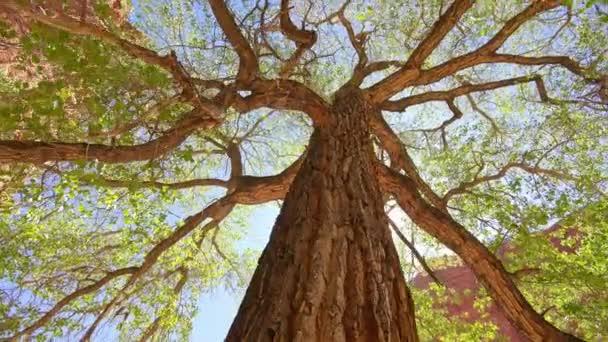 Dívat se na vysoký topolový strom, kroužící v Utahu v poušti za slunečného dne.