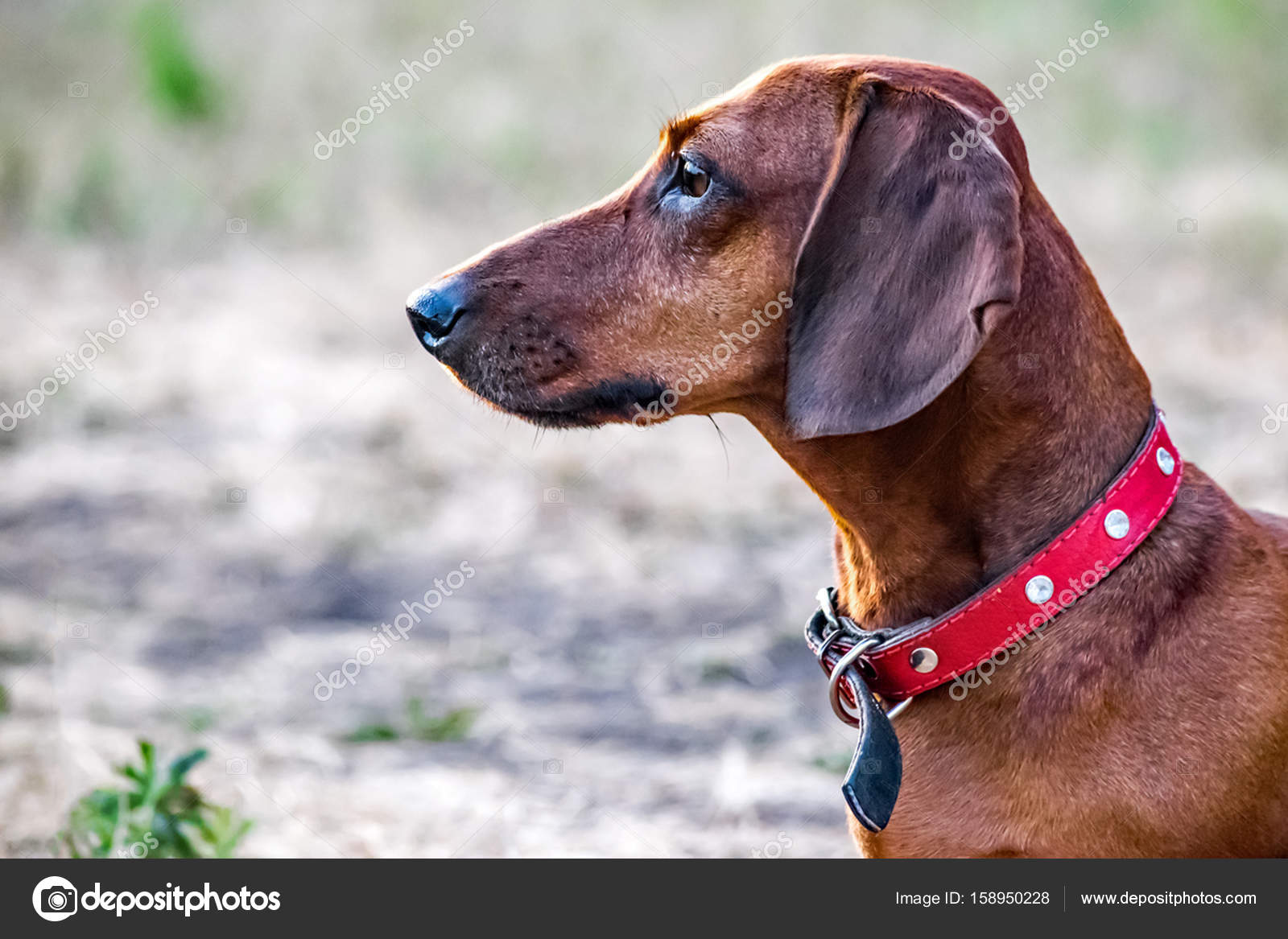 un teckel de chasse chien assis sur une clairi re en t portrait d un chien de profil. Black Bedroom Furniture Sets. Home Design Ideas