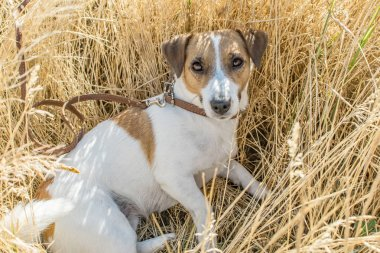 Dog Jack Russell Terrier lying in the Rye Field at sunny day. Resting dog on Background of ripe rye